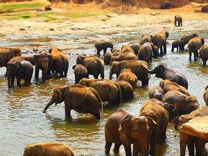 Слоновий питомник в Пиннавала