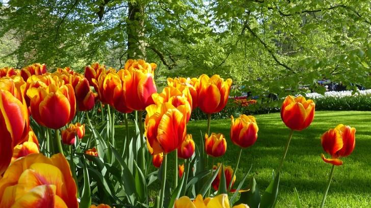 Тюльпаны в Кекенхофе, Голландия