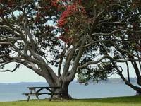 Рождественское дерево - символ Новой Зеландии