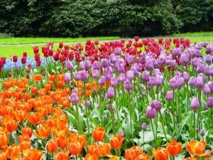 Тюльпаны в Кёкенхофе