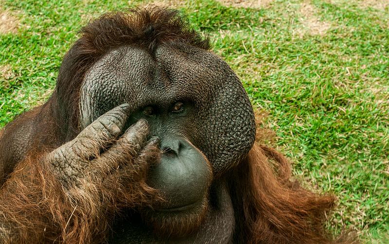 Орангутан-мужчина
