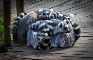 Лемуры, зоопарк Скансен