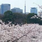 Цветущая сакура - весення достопримечательность Токио