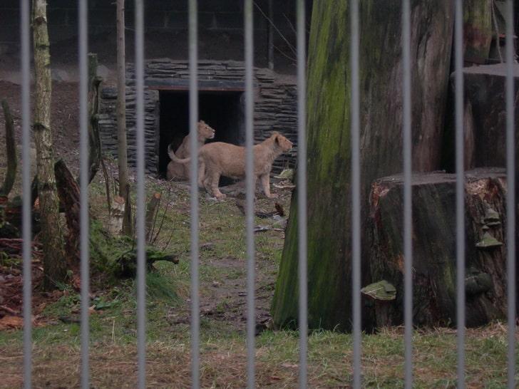 Львы, зоопарк в Хельсинки