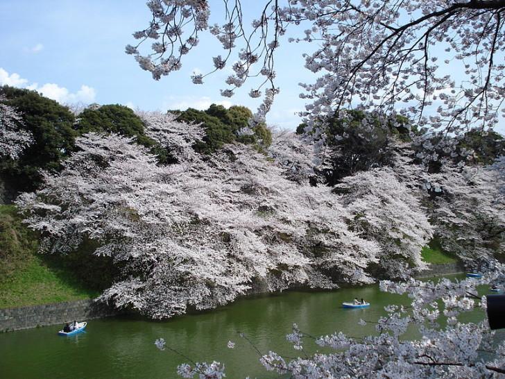 Сакура в Императорских садах в Токио