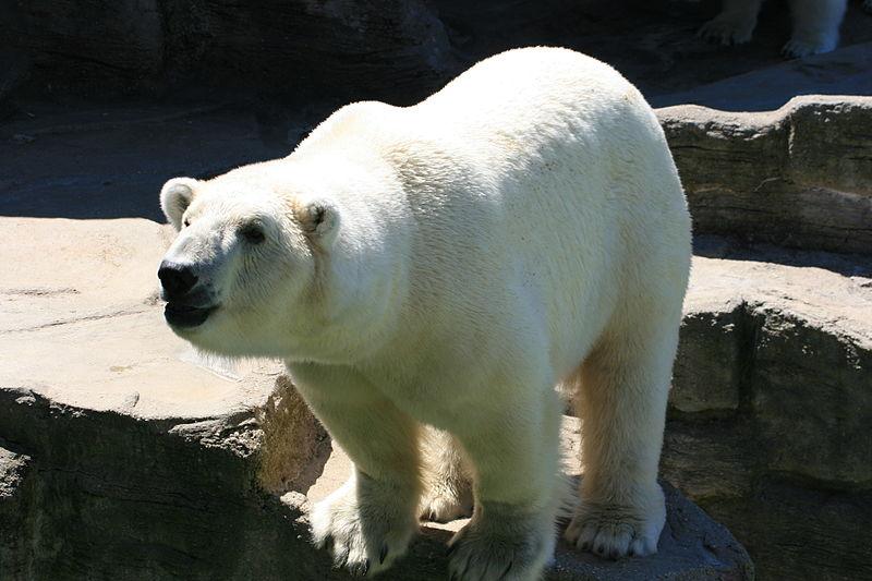 Белый медведь в зоопарке Шёнбрунн