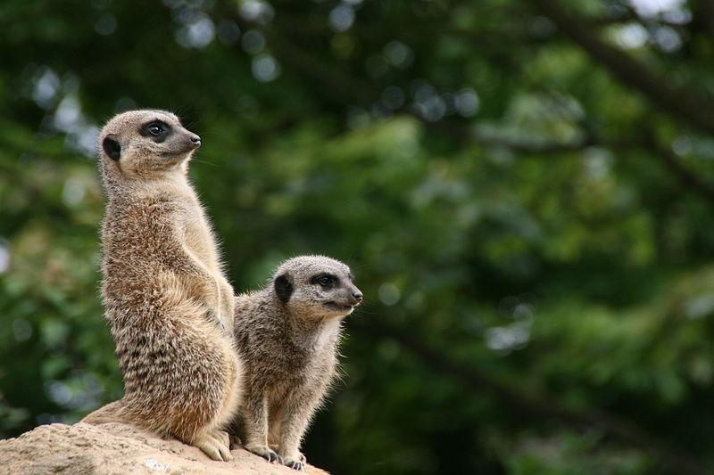 Сурикаты в Лондонском зоопарке