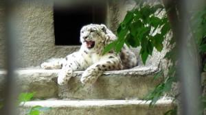 Ягуар в Московском зоопарке