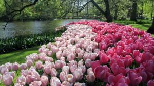 Парк Кёкенхоф, тюльпаны