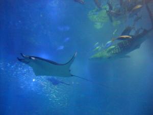 Манты и китовые акулы