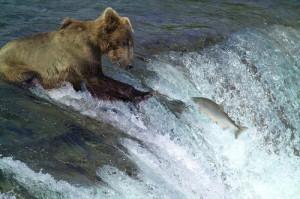 Медведь, ловящий лосось