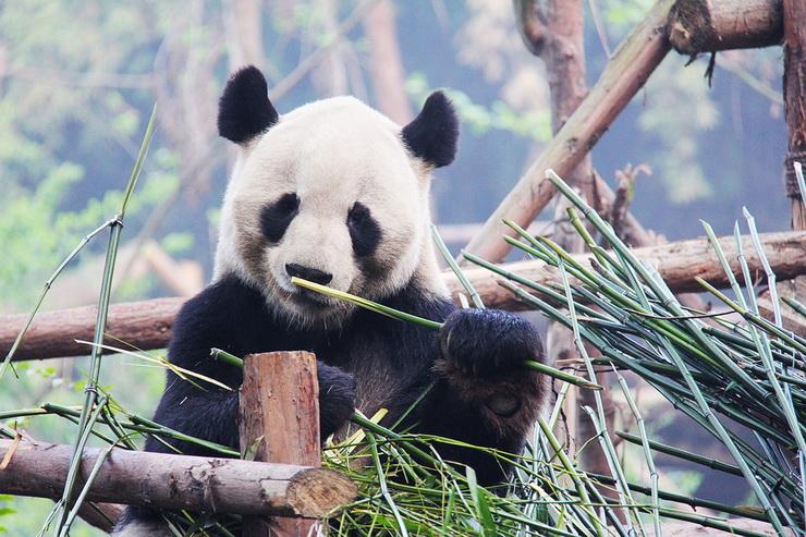 Реально большой панда