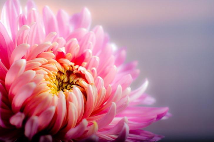 Розовая хризантема, Крым