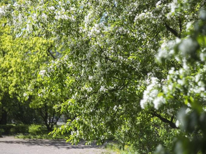 Цветущая черемуха в мае в Питере