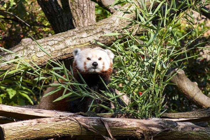 Зоопарк Праги, красная панда