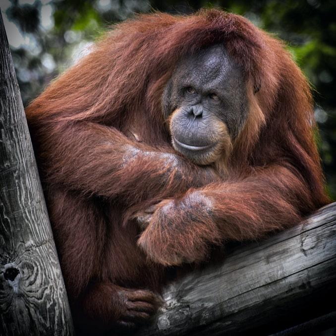 Орангутан, Индонезия