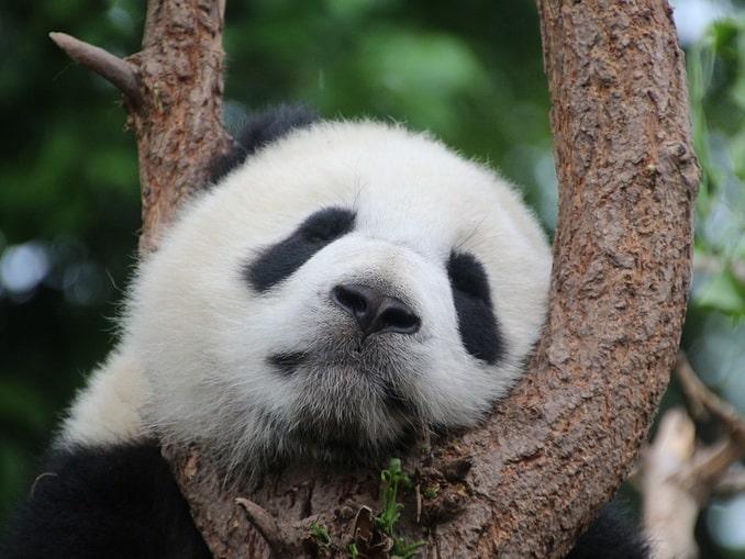 Спящая большая панда