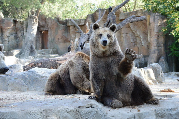Медведь, Мадридский зоопарк