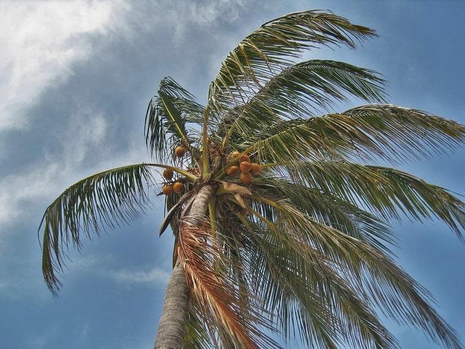 Пальма на Кубе в сентябре гнется под ветром
