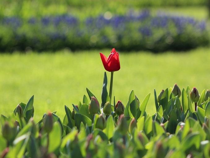 Тюльпаны в Стамбуле, конец марта