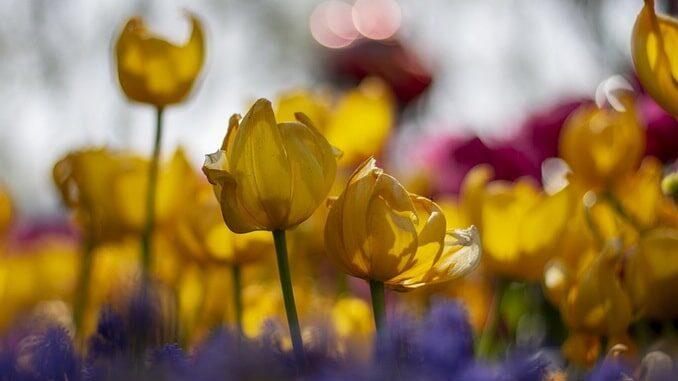 Тюльпаны в Гюльхане - Стамбул в начале апреля