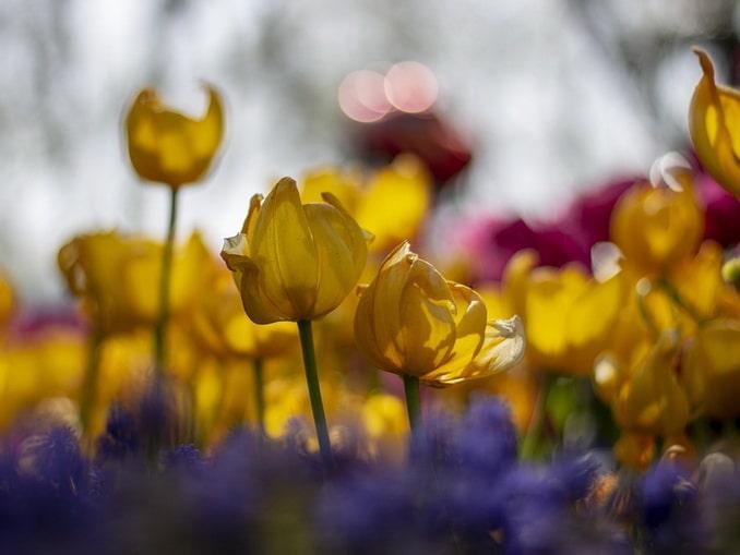 Весной в Стамбул стоит поехать только ради тюльпанов