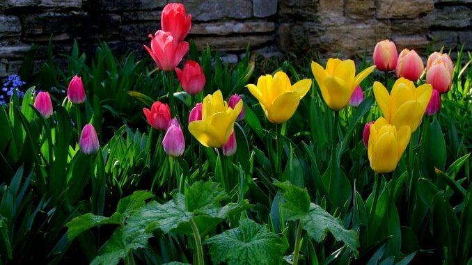 Тюльпаны в весеннем Кисловодске