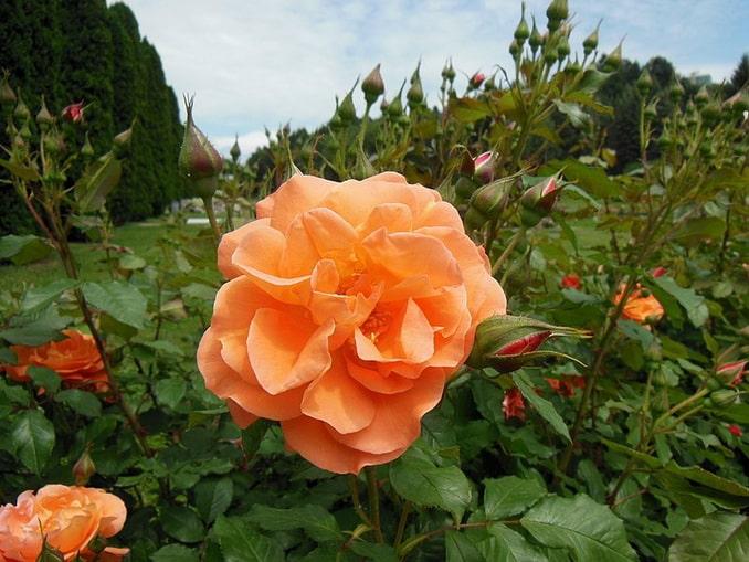 Долина роз в Кисловодске в начале июня