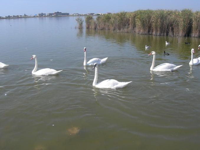Лебеди на озере Сасык-Сиваш рядом с Евпаторией