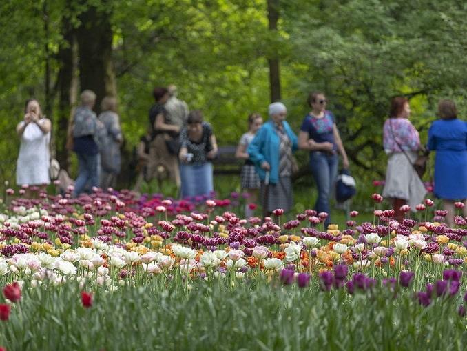 Тюльпаны в Санкт-Петербурге в конце мая