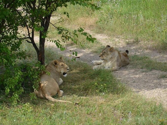 Львы в парке Тайган - до них легко можно доехать легко можно доехать из Судака