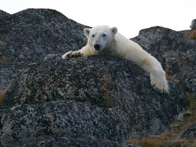 Белый медведь в Российской Арктике